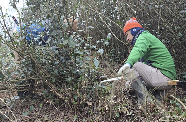 茶山の開墾と収穫
