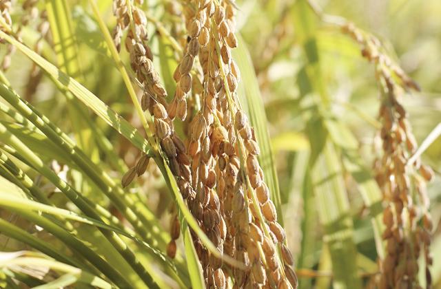 無農薬栽培で育てられた農作物